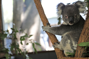 Foto op Textielframe Koala cute cuddly koala bears in gumtree in queensland, australia