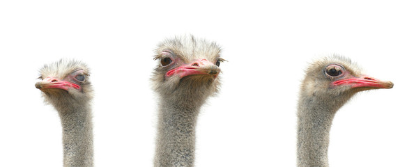 Three ostriches are isolated on a white background. Wild birds patter for design.