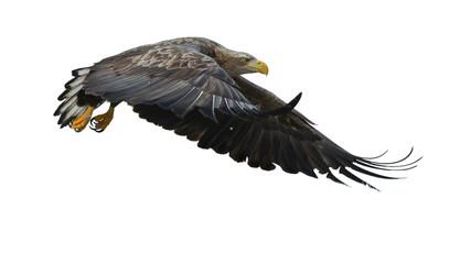Poster Eagle Juvenile White-tailed eagle in flight. Isolated on White background. Scientific name: Haliaeetus albicilla, also known as the ern, erne, gray eagle, Eurasian sea eagle and white-tailed sea-eagle.