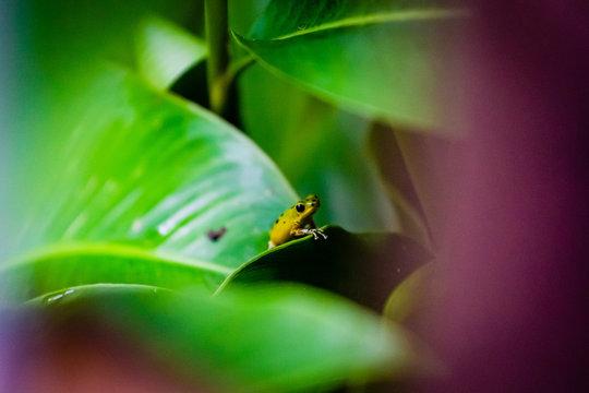 Yellow and green Strawberry Poison Dart Frog on Isla Colon, Bocas del Toro, Panama