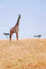 Giraffe walking in grass field of Serengeti Savanna - African Tanzania Safari trip
