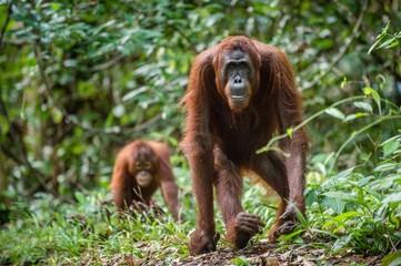 Bornean orangutan in the wild nature. Central Bornean orangutan ( Pongo pygmaeus wurmbii )  in natural habitat. Tropical Rainforest of Borneo.Indonesia