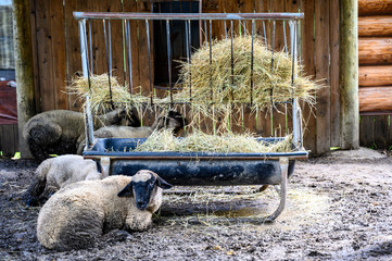 sheep in a dirt floor pin with a hay feeding trough