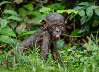 Close up Portrait of Bonobo Cub  in natural habitat. Green natural background. The Bonobo ( Pan paniscus), called the pygmy chimpanzee. Democratic Republic of Congo. Africa