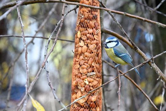 Blue tit feeding in garden