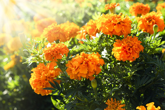 Sunlit marigold orange flowers in the flowerbed.