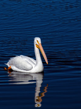 American White Pelican Photographed in Colorado