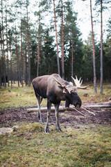 Elch in Wildnis