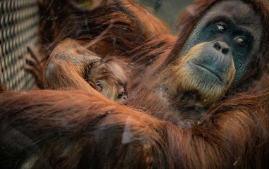 A newly born orangutan infant of a critically endangered Sumatran species is seen with its mother at a zoo in Chester