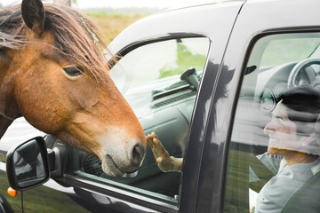 Pony on road looking into a car