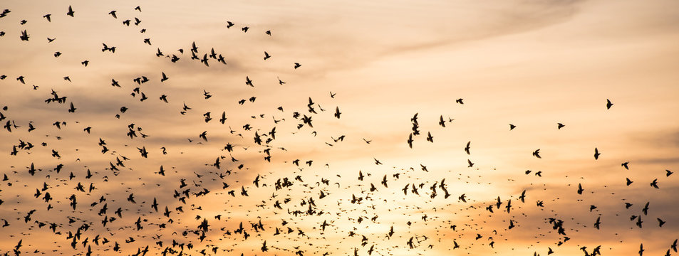 swarm of wild birds at sundown in autumn