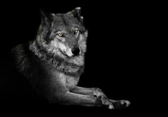 Poster Wolf Watching. wolf female lies beautifully on the ground, imposingly lies. Powerful graceful animal Half turn. Black background discolored but yellow eyes