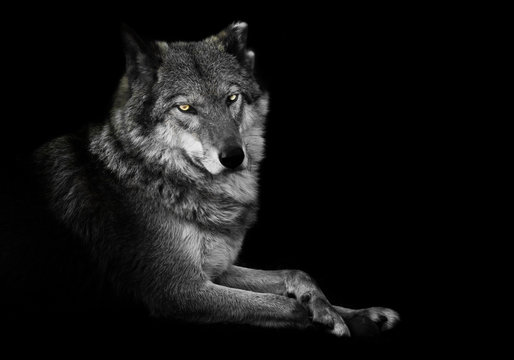 Watching. wolf female lies beautifully on the ground, imposingly lies. Powerful graceful animal Half turn. Black background discolored but yellow eyes