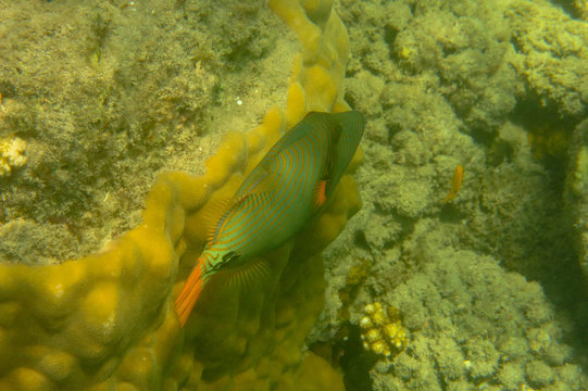 Coral fish of tropical waters Orange-lined triggerfish (Balistapus undulatus) is a demersal triggerfish. Dark Green Body With Orange Lines That Start Behind The Head And Cover The Rest Of Its Body