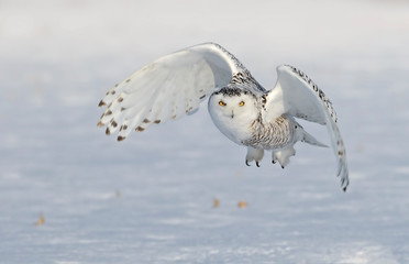 Snowy owl (Bubo scandiacus) flying low and hunting over a snow covered field in Ottawa, Canada Wall mural