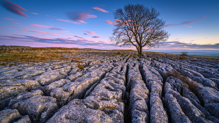 Dusk at Malham Lings Lone Ash Tree, above Malham Village in the Yorkshire Dales where there is an area of Limestone Pavement known as Malham Lings