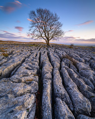 Portrait of Lone Ash Tree in Limestone Pavement, above Malham Village in the Yorkshire Dales where there is an area of Limestone Pavement known as Malham Lings