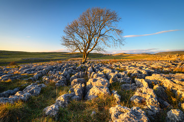Lone Ash Tree in Limestone Pavement, above Malham Village in the Yorkshire Dales where there is an area of Limestone Pavement known as Malham Lings