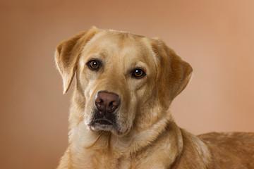 Labrador retriever dog lying on brown background