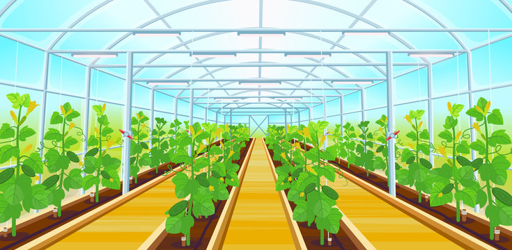 A large greenhouse with rows of cucumbers.Vector illustration.