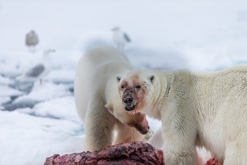 Photo sur Aluminium Ours Blanc Polar Bear (Ursus maritimus) Spitsbergen North Ocean
