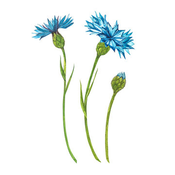 Blue Cornflower Herb or bachelor button flower bouquet isolated on white background. Set of drawing cornflowers, floral elements, watercolor botanical illustration.