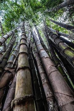 Bamboo trees in Laos