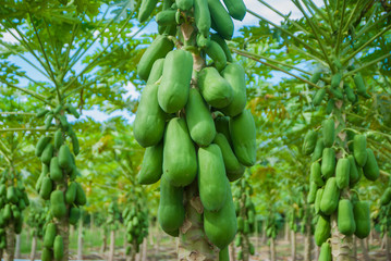 Papaya tree, Papaya tree farm, Papaya tree farm from Thailand country