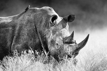 Wall Mural - White rhinoceros, rhino bull portrait , highly focused and alerted in tall grass. Black and white. Ceratotherium simum