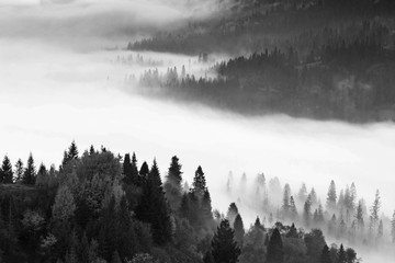 wonderful black - white mountains image, trees in morning fog, beautiful autumn scene, monochromatic amazing nature background, Carpathians, Ukraine, Europe landscape