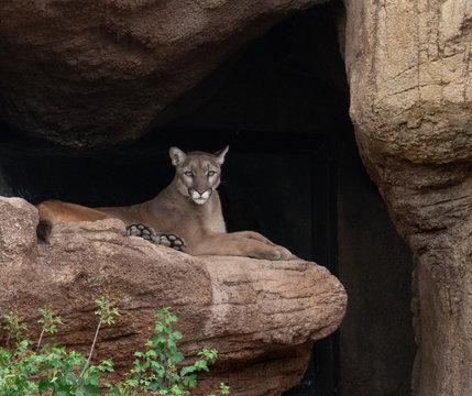 Mountain Lion Resting on Canyon Ledge