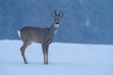 Roe deer Capreolus capreolus in winter. Roe deer with snowy background. Wild animal walking in snow..