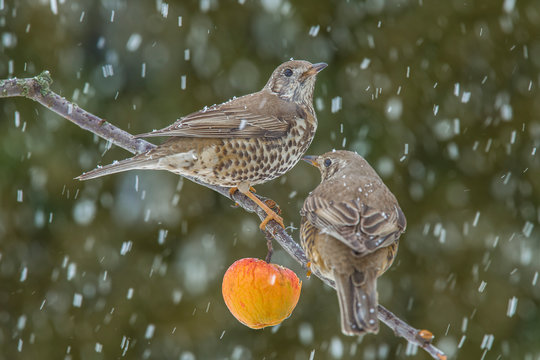 Singing thrush (turdus philomelos) on a cold winter day on a branch of a paradise apple