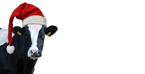 Poster Cow Christmas greeting card with cow on a white background