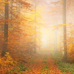 Foto op Aluminium Zwavel geel Mysterious morning fog in a beautiful beech tree forest. Forest road with autumn trees with yellow and orange foliage. Heidelberg, Germany