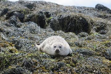 Robben am Dunvegan Castle, Isle of Skye