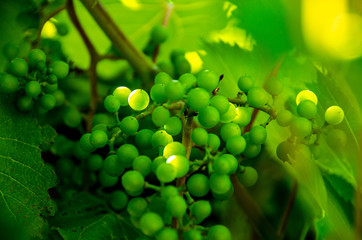 small grape bunches in vineyard