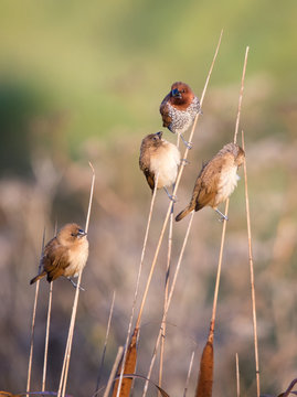 Mannikin sparrows on reeds