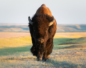 Keuken foto achterwand Bison Bison in the prairies