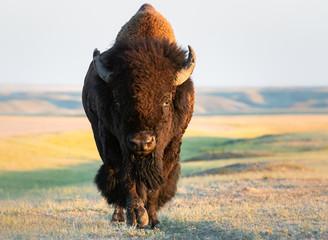 Canvas Prints Bison Bison in the prairies