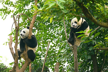 Autocollant pour porte Panda Two Cub of Giant panda bear sleeping on tree Chengdu, China
