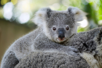 Australia Baby Koala Bear head on mom back