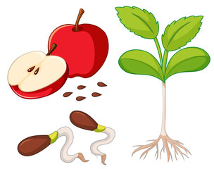 Red apple with seeds and young tree