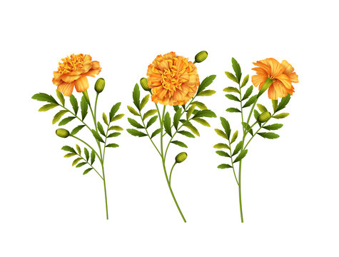Marigold Flowers Vector