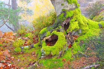 Buche Wurzel - old beech root in forest