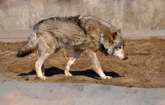 wolf walks in the zoo