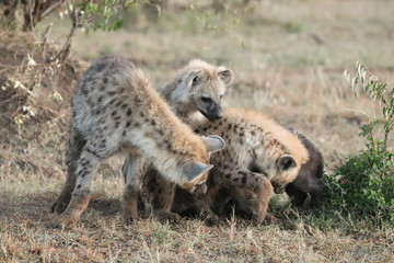 Wall Murals Hyena Young spotted hyenas playing.