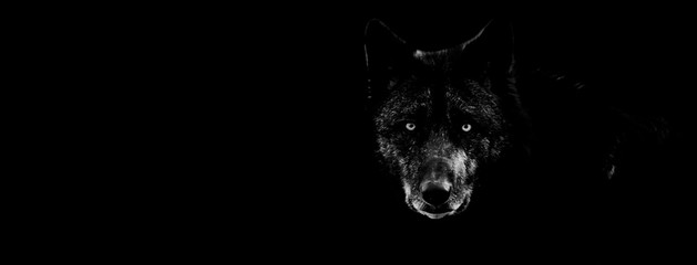 Poster de jardin Loup Black wolf with a black background