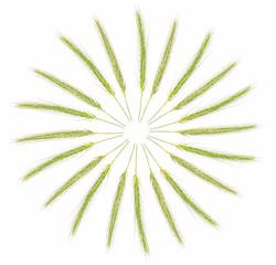 Kłosy ułożone w krąg. Kłosy zboża na białym tle. Abstrakcyjny obraz.
