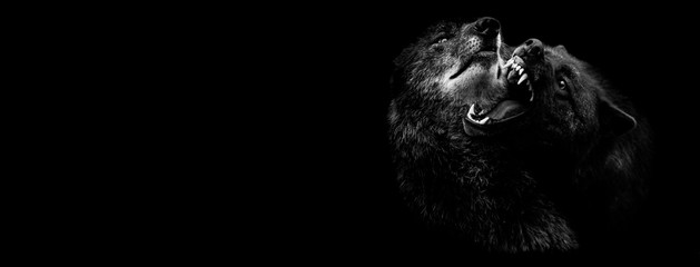 Black wolf fighting with a black background Wall mural